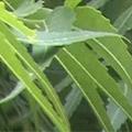 ニームの葉