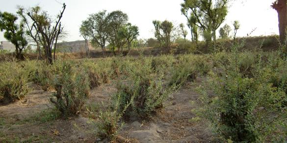 ソジャットのヘナ農場