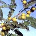 アムラの木と実