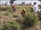 ヘナ収穫風景